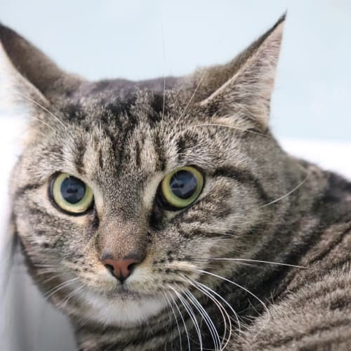 Cadet - Visit Me at PETstock Rockingham!  - Domestic Short Hair Cat