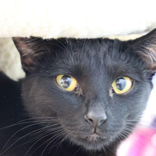 Lainey  - Domestic Short Hair Cat