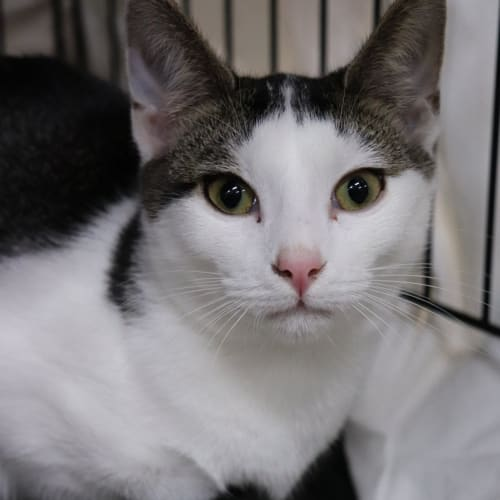 Tinkerbell  - Visit Me at PetStock Rockingham! - Domestic Short Hair Cat