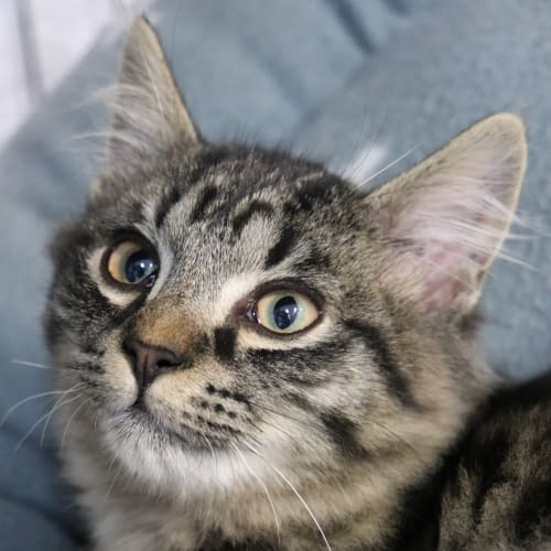Toast **On Trial With My New Family**  - Domestic Medium Hair Cat