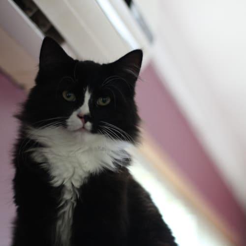 Eddie - Domestic Medium Hair Cat