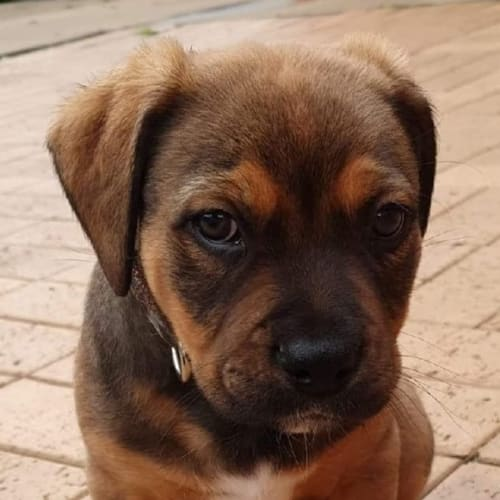 Tonka ** On Trial ** - Staffy Dog