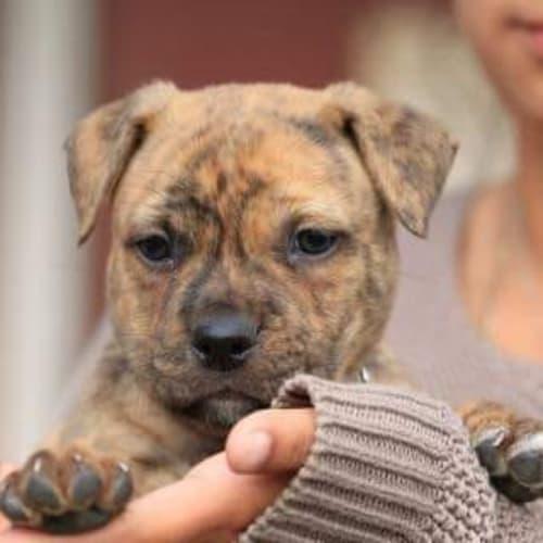 Daku  ** On Trial ** - Staffy Dog