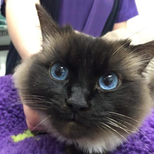 Ari - Ragdoll Cat
