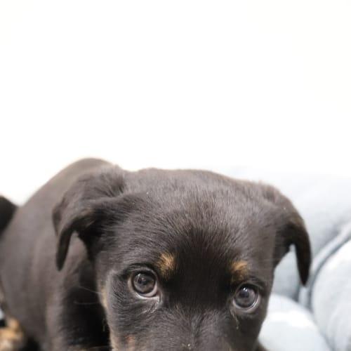 Adella *No More Applications* - Kelpie x Rottweiler x Staffy Dog