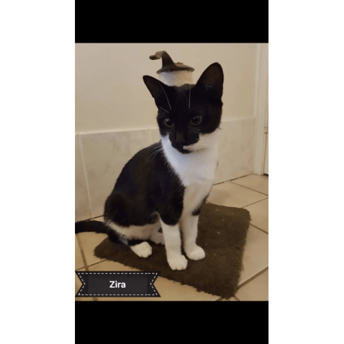 Zira - Domestic Short Hair Cat