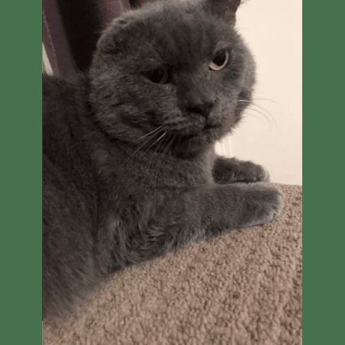 Blue - Domestic Short Hair Cat