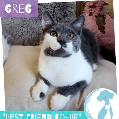 Greg - Domestic Short Hair Cat