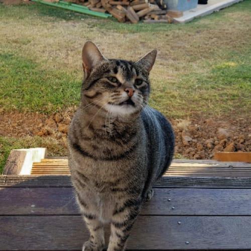 Camden - Domestic Short Hair Cat