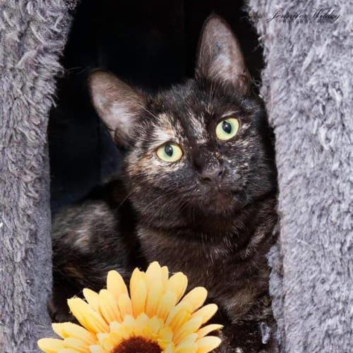 362 - Naomi - Domestic Short Hair Cat
