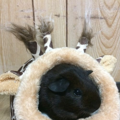 Sirius Black - Smooth Hair Guinea Pig