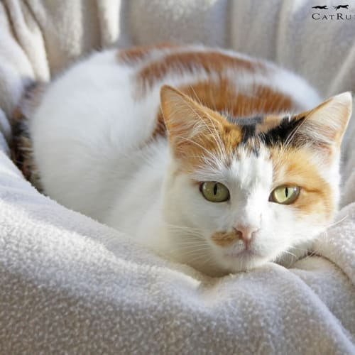 AC0711 - Kimberley - Domestic Short Hair Cat