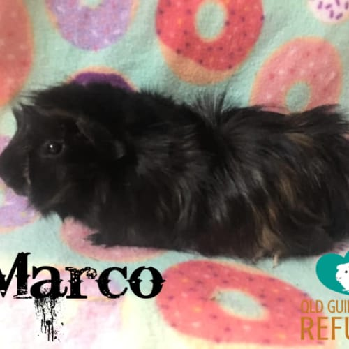 Marco  - Abyssinian Guinea Pig