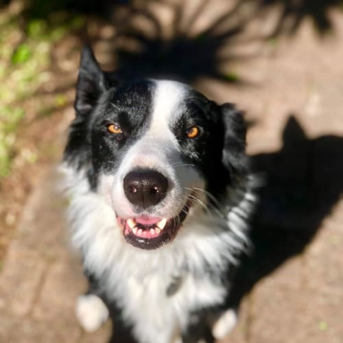 Beau - Border Collie Dog