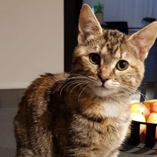 Harlequin - Domestic Short Hair Cat