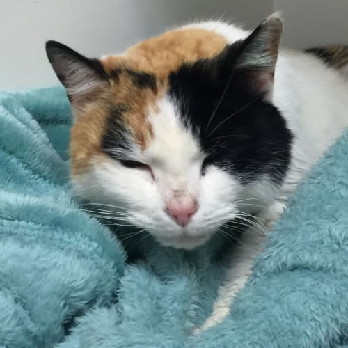 Valentina -  Located in Coburg - Domestic Short Hair Cat