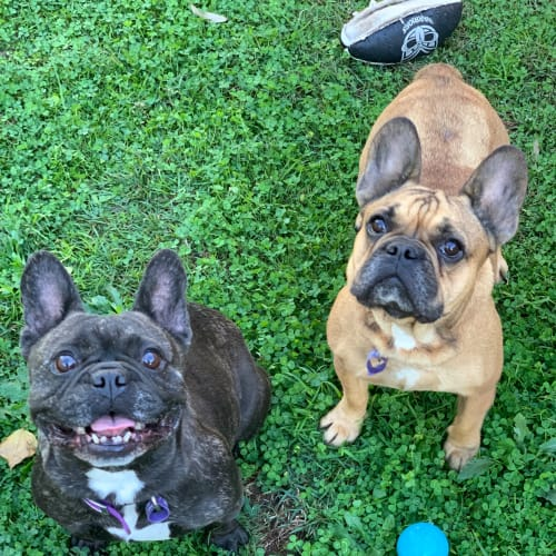 Millie & Olive (Bonded Pair) - French Bulldog