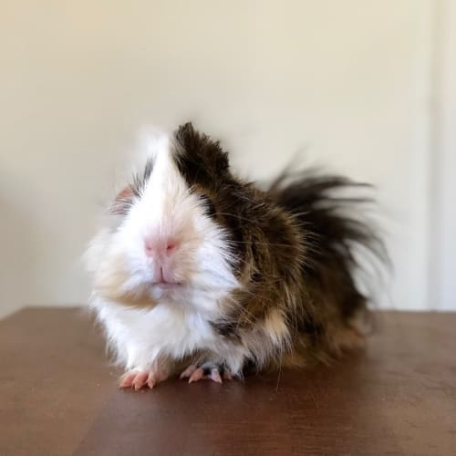 Mickey  - Abyssinian Guinea Pig