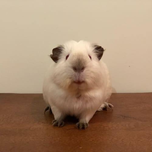 Simone (Available from the 19/07/2019)  - Himalayan Guinea Pig
