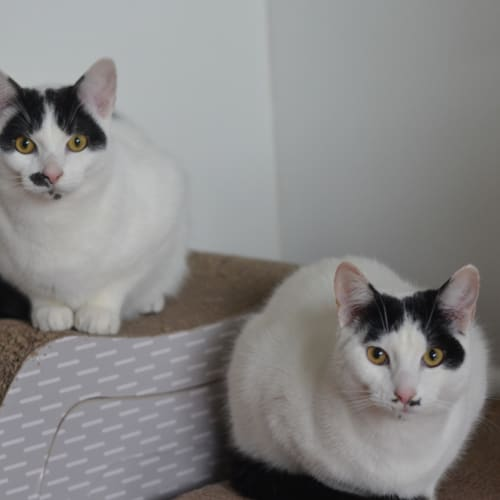 Maloo and Mo (Located in Carnegie) - Domestic Short Hair Cat