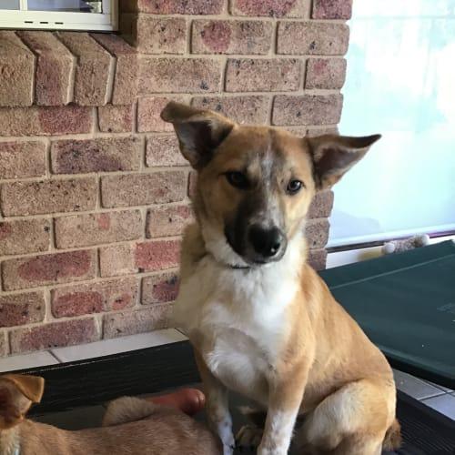 Harry - Kelpie Dog