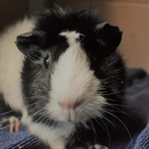 Posey  919873 - Abyssinian Guinea Pig