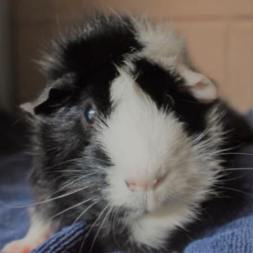 Petal  919872 - Abyssinian Guinea Pig