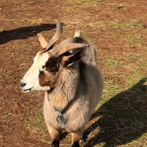 Bronty & Buddy -  Goat