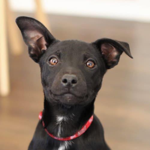 Gypsy - Kelpie x American Staffordshire Bull Terrier Dog