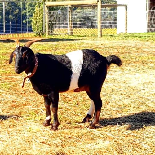 Bill the Goat -  Goat
