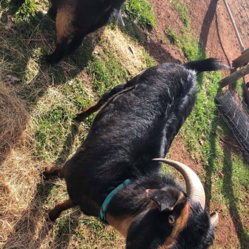 Henry -  Goat