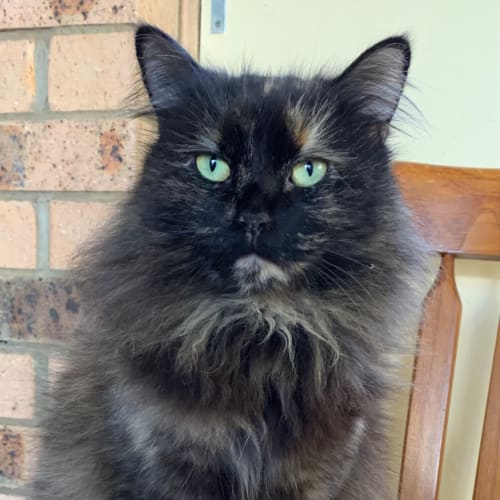 Autumn - Maine Coon Cat