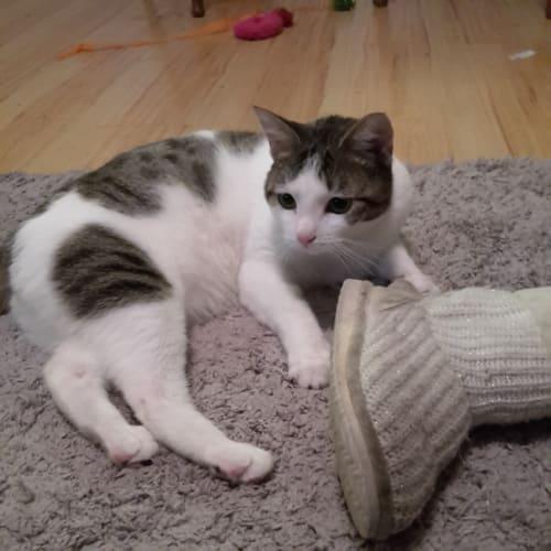 Dopey Dora  - Domestic Short Hair Cat