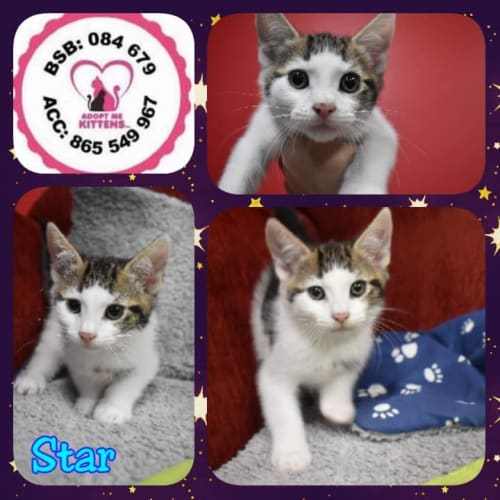 Star - Domestic Short Hair Cat