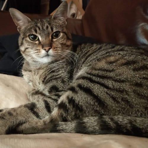 Olivia ❤ - Domestic Short Hair Cat