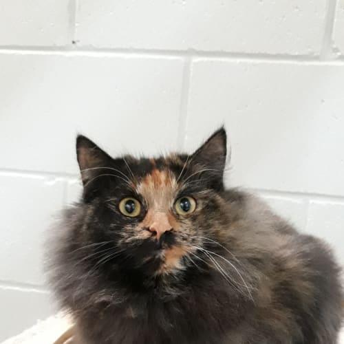 Amethyst - Domestic Medium Hair Cat