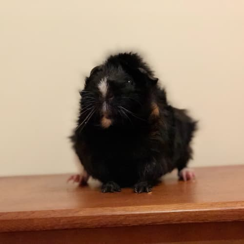 Spike - desexed - Abyssinian Guinea Pig