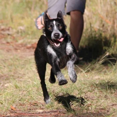 Dolly  - Wolfhound x Kelpie x Australian Stumpy Tail Cattle Dog