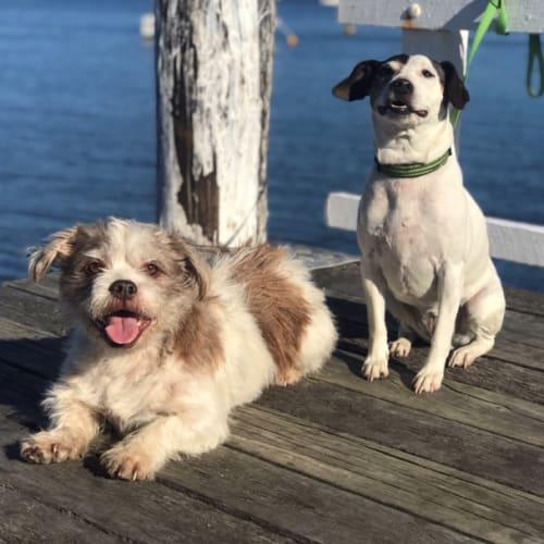 Poochie and Jess - Fox Terrier x Shih Tzu Dog