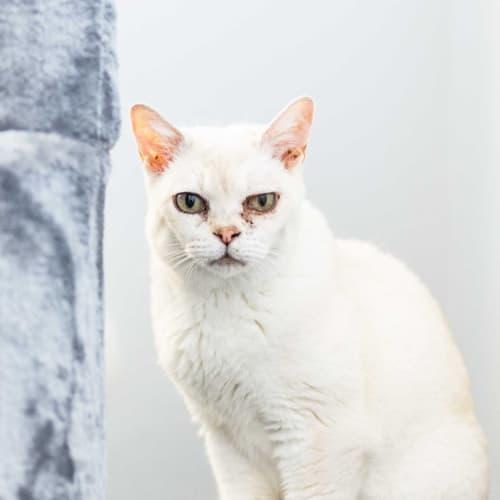 AC1099 - Jacquita - Burmilla Cat