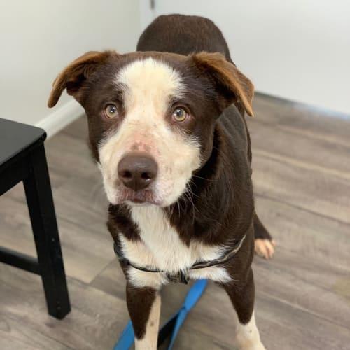 Jasper - Border Collie Dog
