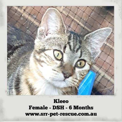 Kleeo - Domestic Short Hair Cat