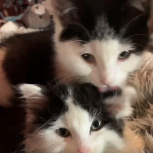 Floyd - Domestic Medium Hair Cat