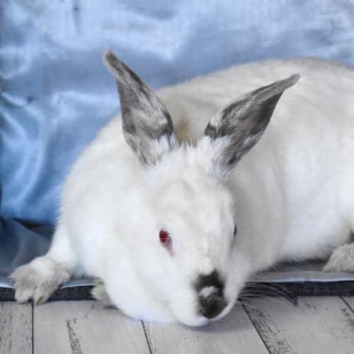 Huni - Bunny Rabbit