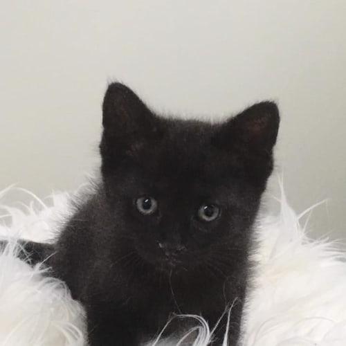 Inky - Domestic Medium Hair Cat