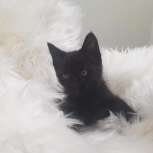 Isaac - Domestic Medium Hair Cat