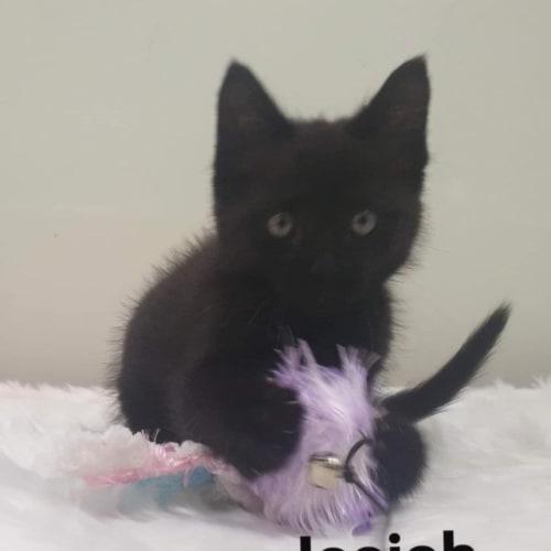 Issiah - Domestic Medium Hair Cat