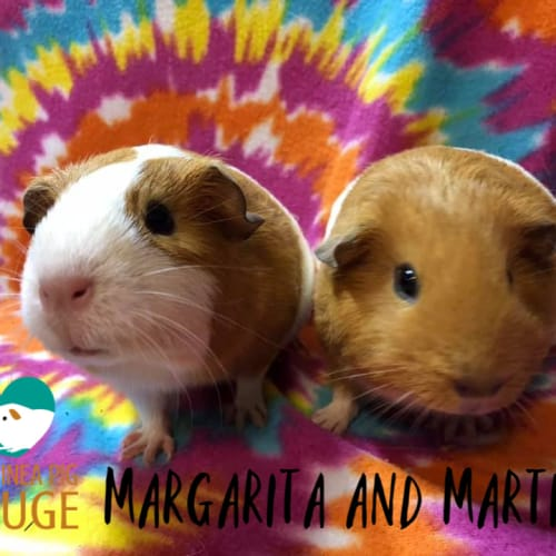 Margarita and Martini - Smooth Hair Guinea Pig