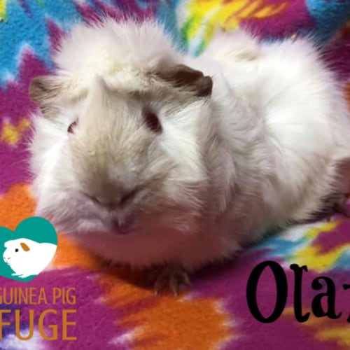 Olaf - Abyssinian x Himalayan Guinea Pig