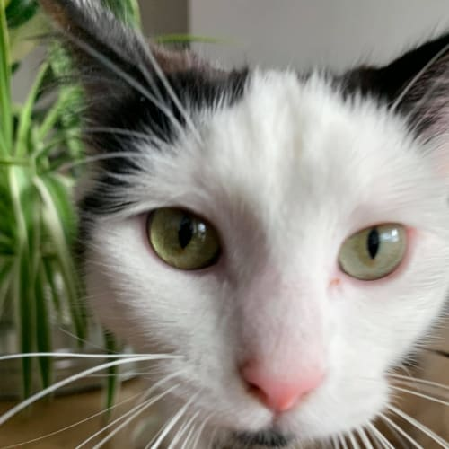 Pablo (Located in St Kilda) - Domestic Medium Hair Cat